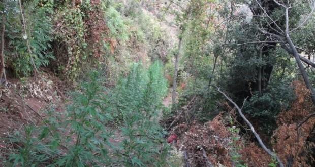 Εντοπίστηκε φυτεία 450 δενδρυλλίων κάνναβης, σε δασική τοποθεσία, στην Αιγιάλεια(φωτο)