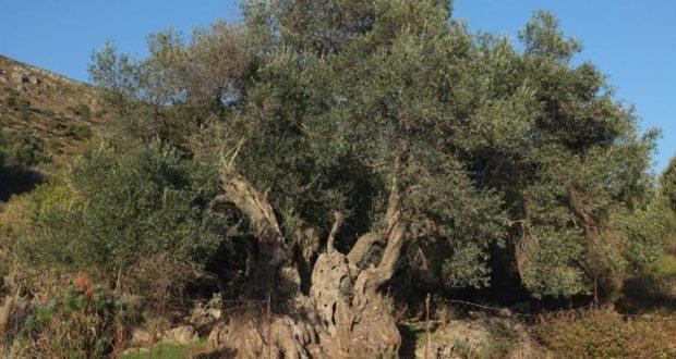 Δήμος Αγρινίου: Ημερίδα για την Καλλιέργεια της ελιάς στη Ματαράγκα