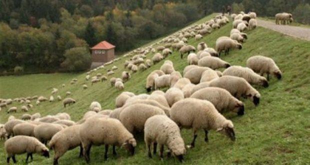 Κουβαράς Ξηρομέρου: Ζωοκλέφτες πήραν από κτηνοτροφική μονάδα 20 πρόβατα