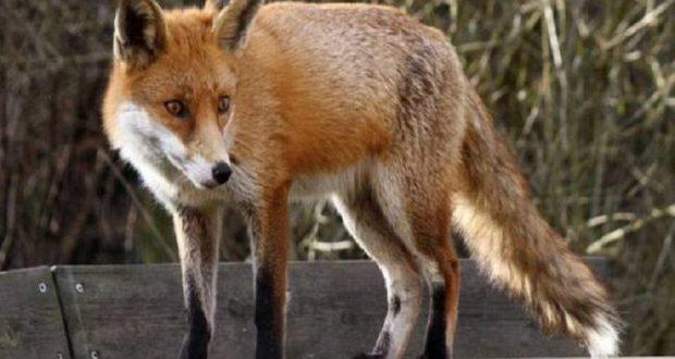 Αιτωλοακαρνανία: Ξεκινά το πρόγραμμα εναέριου εμβολιασμού των κόκκινων αλεπούδων