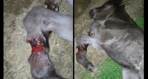 Στράτος Αιτωλοακαρνανίας: Πέταξαν το αλογάκι για να πεθάνει αφού το βασάνισαν δένοντας του τα πόδια