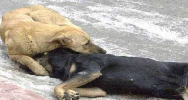 Μεσολόγγι: Θανάτωση σκύλων με φόλα!
