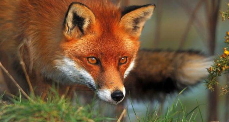 Δ.Α.Ο.Κ. Π.Ε. Αιτ/νίας: Διενέργεια εμβολιασμού των κόκκινων αλεπούδων