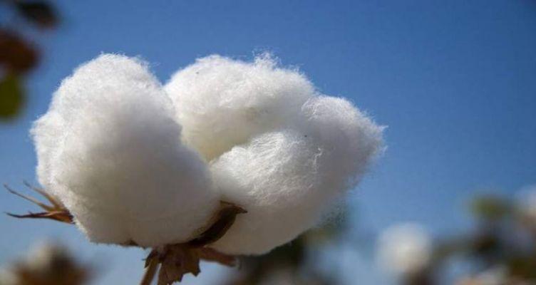 Ένωση Αγρινίου-Αιτ/νία: 3ο δελτίο φυτοπροστασίας στη βαμβακοκαλλιέργεια