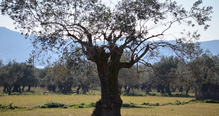Ένωση Αγρινίου: Οι βασικές ασθένειες στις ελιές και πώς να τις αντιμετωπίσετε