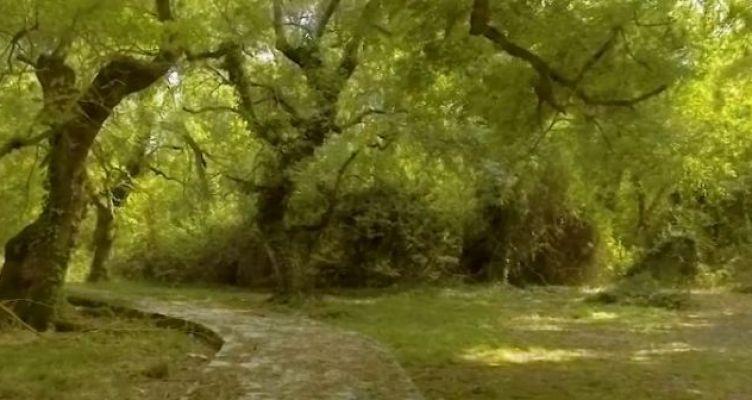 Το σπάνιο δάσος του Φράξου στο Λεσίνι (Βίντεο)