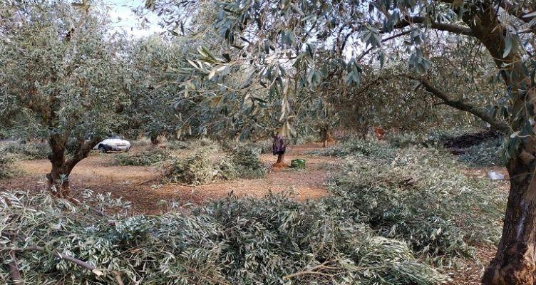 Ένωση Αγρινίου-Ελιές: Ποιες ποικιλίες ενδείκνυνται για την περιοχή μας