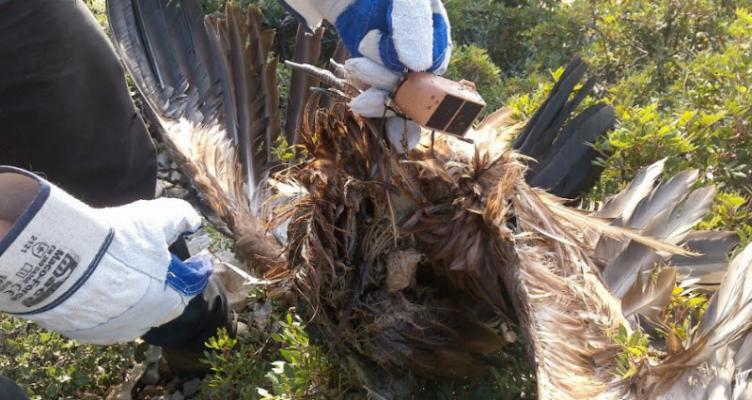 Εντοπισμός πομπού από νεκρό όρνιο (Gyps fulvus) στα Ακαρνανικά Όρη