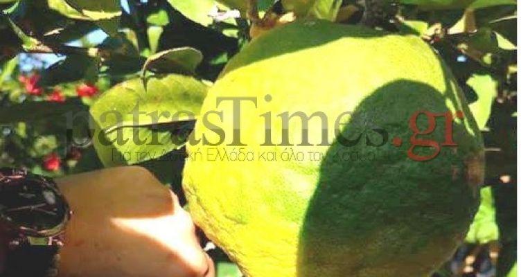 Λεμόνι σαν… πεπόνι στην Πάτρα – Ζυγίζει 3 κιλά! (Φωτό)