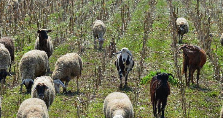 Αιτ/νία: Πληρωμές για τις δράσεις βιολογικής κτηνοτροφίας και σπάνιων φυλών