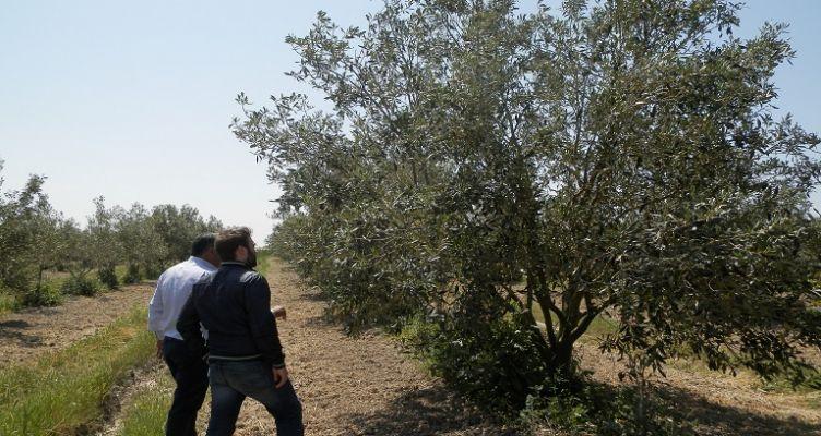 Ένωση Αγρινίου: Οδηγίες για τη σωστή λίπανση της ελιάς