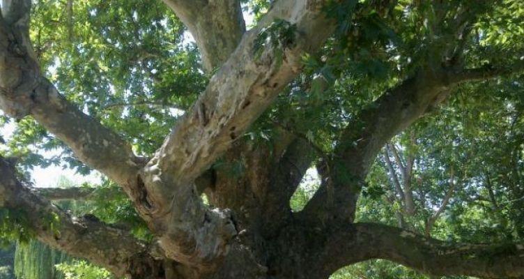 «Πλάτανος: ένα είδος που απειλείται με εξαφάνιση»