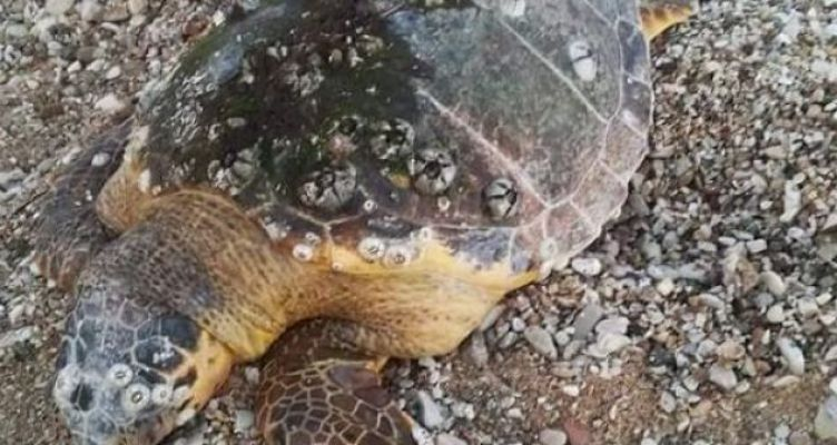 Βόνιτσα: Νεκρή εντοπίστηκε θαλάσσια χελώνα στη παραλία (Φωτό)