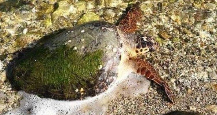 Νεκρή άλλη μία χελώνα καρέτα – καρέτα στο Δρυμό Βόνιτσας