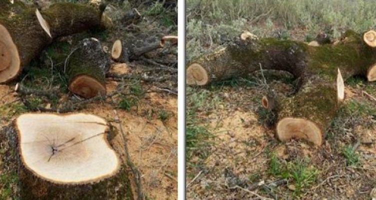 Λαθροϋλοτόμοι έκοψαν αιωνόβιες βελανιδιές στον Πρόδρομο Ξηρομέρου (Φωτό)