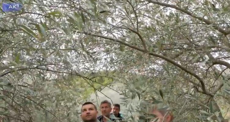 Η τέχνη του κλαδέματος της ελιάς (Βίντεο)