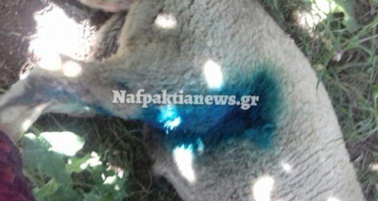 Ναύπακτος: Αγέλη αδέσποτων σκυλιών κατασπάραξε δύο αρνάκια (Φωτό)