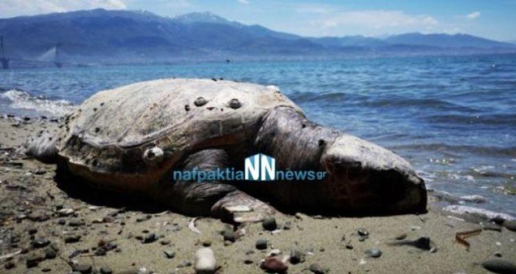 Νεκρή χελώνα καρέτα – καρέτα στην παραλία του Αντιρρίου (Βίντεο)