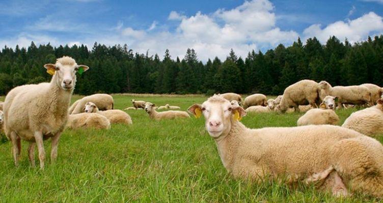 Βόνιτσα: Άγνωστοι αφαίρεσαν από κτηνοτροφική μονάδα 105 αμνοερίφια
