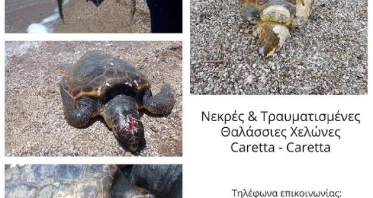 Μεσολόγγι: Νεκρές και τραυματισμένες χελώνες Caretta – Caretta – Τι αναφέρει ο Φ.Δ./Λ.Μ.