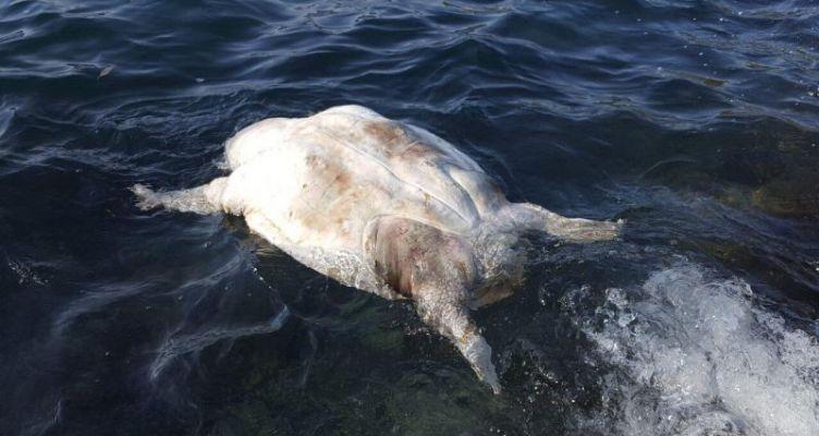 Νεκρή χελώνα Καρέτα-Καρέτα στο Λουτράκι στην θαλάσσια περιοχή του Αμβρακικού