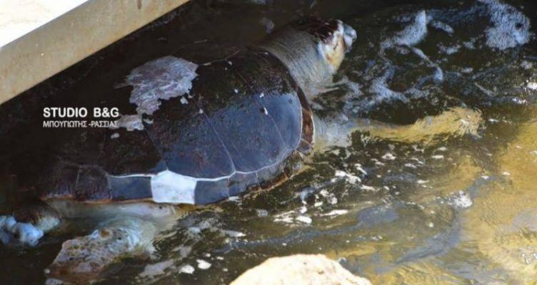 Νεκρή θαλάσσια χελώνα στην παραλία του Ναυπλίου