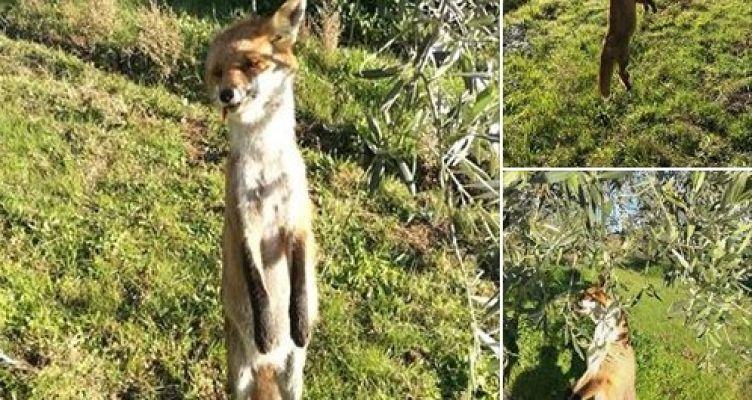 Σπολάιτα Αγρινίου: Φρικτές εικόνες από το κρέμασμα της αλεπούς (Φωτό)