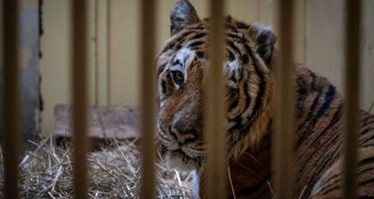 Αίσιο τέλος για πέντε τίγρεις που επέζησαν από το «ταξίδι του τρόμου» στην Ευρώπη