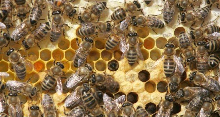 Ηλεία: Μελισσοκόμος παίζει με χιλιάδες μέλισσες και γίνεται viral