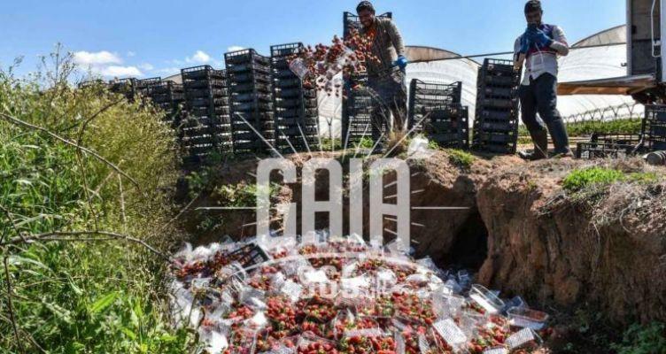 Ηλεία: Πετάνε τις φράουλες στη Ν. Μανωλάδα (Βίντεο)