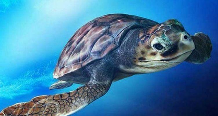 Η Caretta-Caretta μπορεί να ωοτοκεί για τουλάχιστον 33 χρόνια