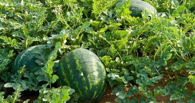 Μεσολόγγι: Ούτε τα καρπούζια δεν ευνοεί φέτος ο καιρός