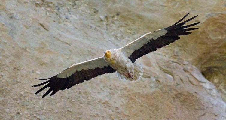 Μελέτη σε 9 χώρες για το πουλί με τα 21 ονόματα στην Ελλάδα, τον ασπροπάρη