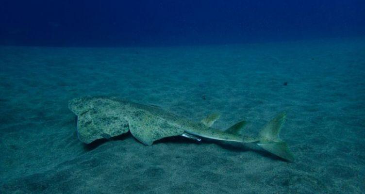 Κινδυνεύουν με εξαφάνιση οι αγγελοκαρχαρίες του Αιγαίου