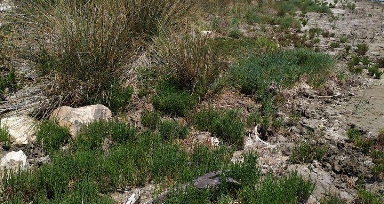 Καλώδια – παγίδα θανάτου για τους Αργυροπελεκάνους στη Λιμνοθάλασσα Μεσολογγίου