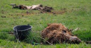 Πάτρα: Ζώα δεμένα, λιμοκτονούν και σπαρταρούν ετοιμοθάνατα δίπλα σε κουφάρια