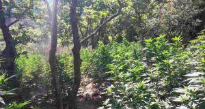 Εντοπίστηκε οργανωμένη φυτεία (750) δενδρυλλίων κάνναβης, στην Αιγιαλεία