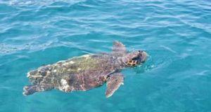 Μια τεράστια θαλάσσια χελώνα «παλεύει» με τη φουρτουνιασμένη θάλασσα (Βίντεο)