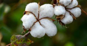 Ανακοίνωση Δ.Ο.Β. προς τους βαμβακοπαραγωγούς σε αναμονή περιόδου σποράς βαμβακιού