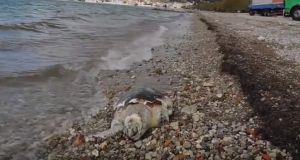 Γρίμποβο: Ξεβράστηκε χελώνα καρέτα-καρέτα (Βίντεο)