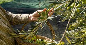 Ένωση Αγρινίου: Εξαγωγή ελιών σε τρίτες χώρες