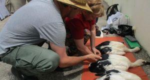 Με επιτυχία η ετήσια Δακτυλίωση Πελαργών στο Εθνικό Πάρκο Λιμνοθαλασσών…