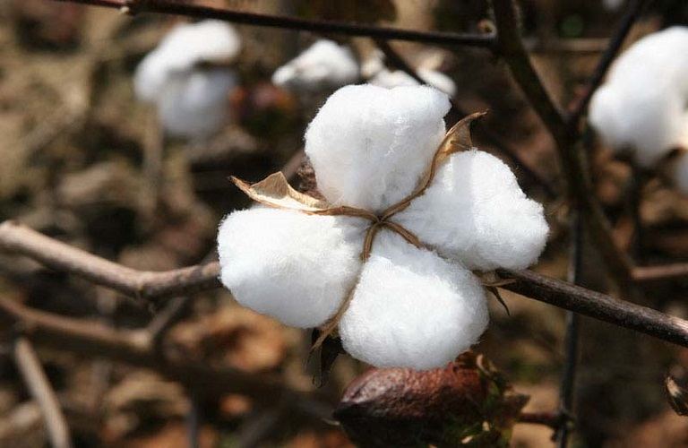 Ένωση Αγρινίου – Βαμβακοκαλλιέργεια: Τεχνικό Δελτίο για την Αιτωλ/νία
