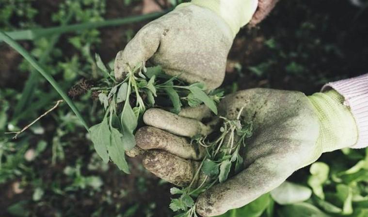 Η κλιματική αλλαγή «τρέφει» τα ζιζάνια απειλώντας την απόδοση των καλλιεργειών