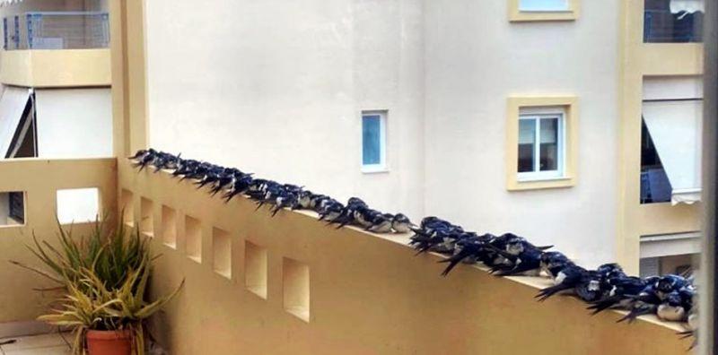 Εξαντλημένα χελιδόνια κατέκλυσαν μπαλκόνια και δρόμους