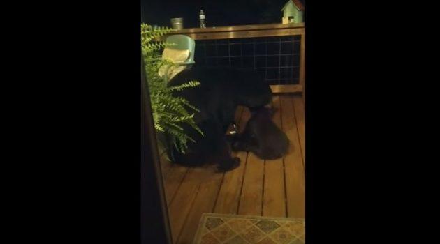 Αρκούδα «κατσαδιάζει» το μικρό της επειδή ανέβηκε σε βεράντα (Video)
