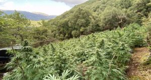 Εντοπίστηκε οργανωμένη φυτεία κάνναβης σε χωριό των Καλαβρύτων – Κατασχέθηκαν…