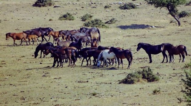 Η «άγρια δύση» της Αιτωλοακαρνανίας με τα ελεύθερα άλογα που ζουν σε αγέλες…