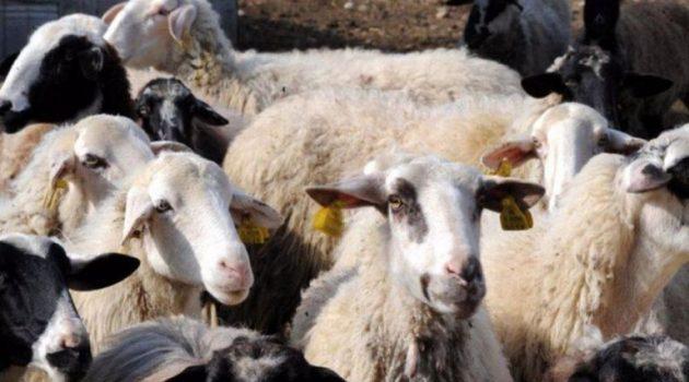 Καταρροϊκός Πυρετός: Οκτώ κρούσματα στην Αιτωλοακαρνανία