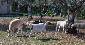 Ένωση Αγρινίου: Ενημέρωση για την παραφυματίωση στα αιγοπρόβατα
